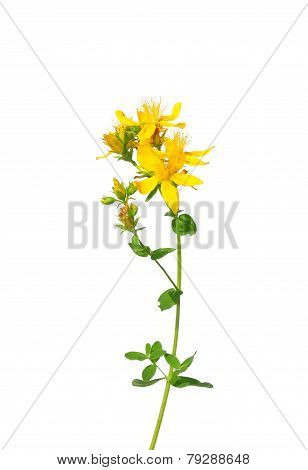 Common St Johns Wort (hypericum Perforatum)