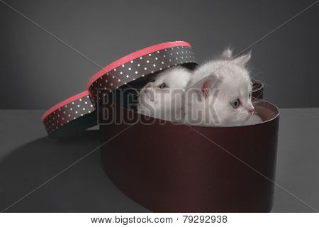 White Persian pussy cats in gift container Ã??Ã???