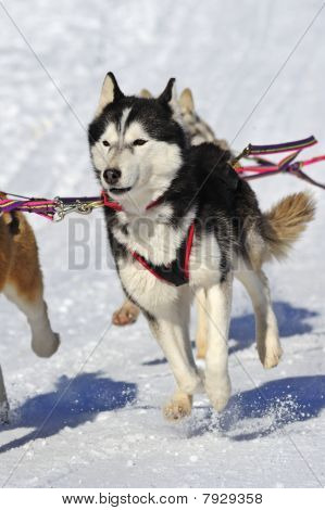 Young Malamute Sled Dog In Action.