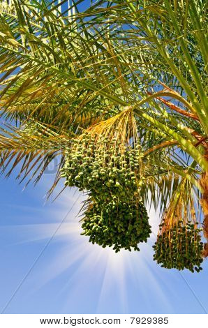 Date Palm With Bunches Of Unripe Dates.
