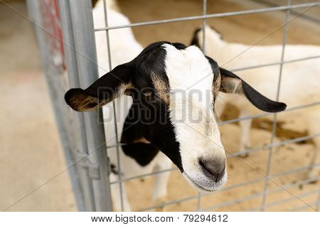 Meat Goats