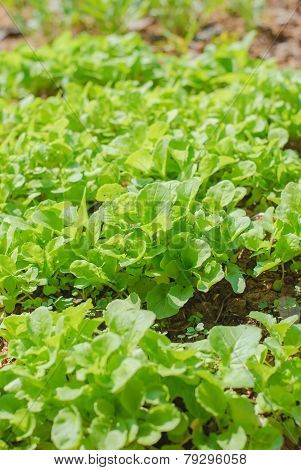Young  Fresh Lettuces