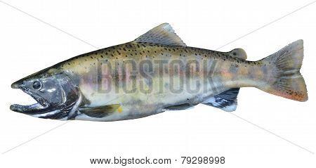 Small Salmon