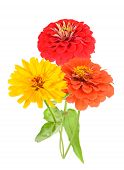 picture of zinnias  - single red zinnia isolated on white background - JPG