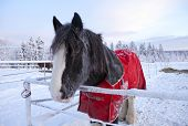 pic of blanket snow  - Horse in a paddock. Christmas time, snow and frost in the hair.