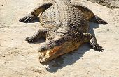 foto of crocodiles  - Crocodiles  - JPG