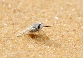 image of pubescent  - Fly with dense white hairs in the Israel - JPG