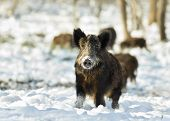 pic of boar  - Wild boar standing on snow and looking at camera - JPG