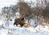picture of boar  - Wild boar holding corn cob in mouth and walking on snow - JPG