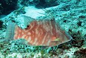 stock photo of hogfish  - Hogfish  - JPG