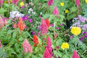 foto of celosia  - beautiful plumped celosia flower in the garden - JPG