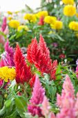 image of celosia  - beautiful plumped celosia flower in the garden - JPG
