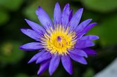 image of fishbowl  - Violet blossom lotus in fishbowl stock photo - JPG