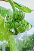picture of banana tree  - Green organic cultivated bananas bunch on a tree in my backyard - JPG