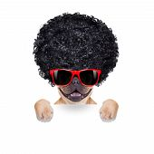 foto of afro  - cool french bulldog with sunglasses wearing a black afro look curly wig smiling at you isolated on white background - JPG