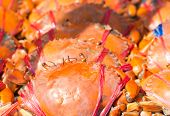 picture of cooked blue crab  - Close up Pile of freshly steamed Maryland Blue Crabs - JPG