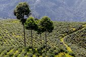 image of darjeeling  - Trees - JPG