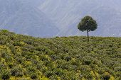 image of darjeeling  - Tree - JPG