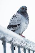 picture of sleet  - Pigeon on a fence full of sleet and ice - JPG