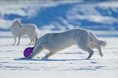 stock photo of frisbee  - Two white dogs playing frisbee on winter background - JPG