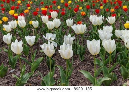 White Red And Yellow Tulips