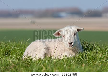Cute Lamb Lying In Grass, The Netherlands