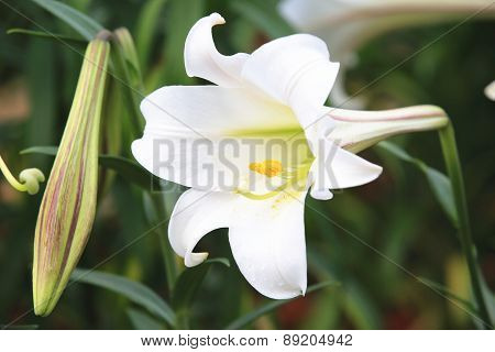 Taiwan Lily and bud