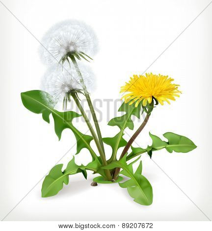 Dandelion flowers, vector icon