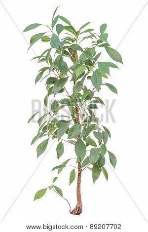 Lemon Bush Tree