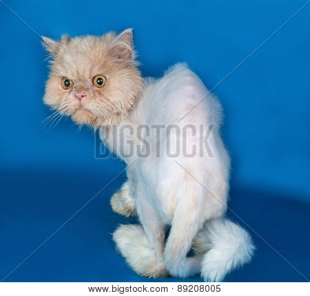 Persian Bobbed Cat Sitting On Blue