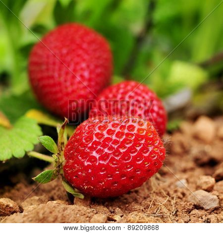 closeup of some ripe strawberries in the plant, in an organic orchard