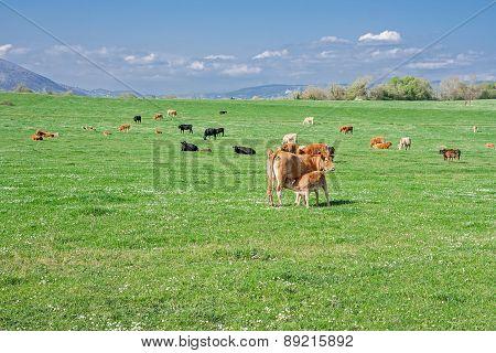 Prairie With Cows