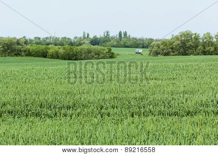 Green Wheat Field In Spring Day