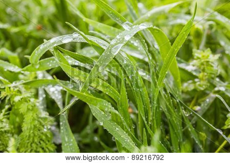 Green Grass With Water Drops, Close Up