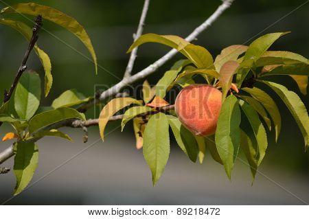 Peach On A Peach Tree, Closeup