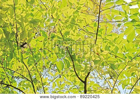light green leaves background in sunny day