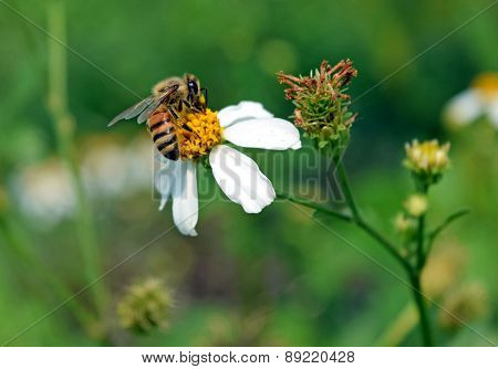 bee eat pollen of spring white flower