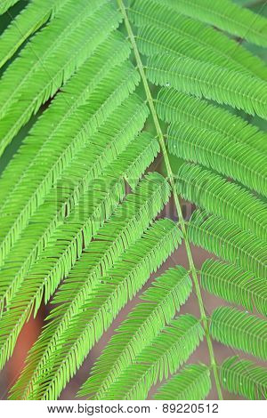 light green leaves of Climbing Wattle tree, Acacia pennata (L.), THAI
