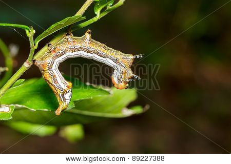Close Up Of  Large Dragon-tailed Caterpillar