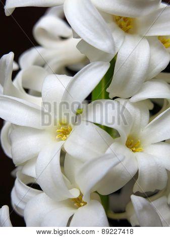 Hyacinth flower.