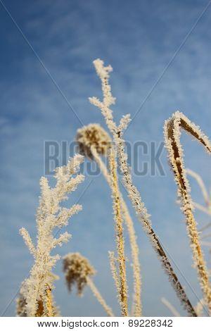 Ear in hoarfrost against the sky