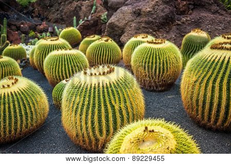 View of cactus garden, gardin de cactus in Guatiza, Lanzarote, Canary Islands, Spain