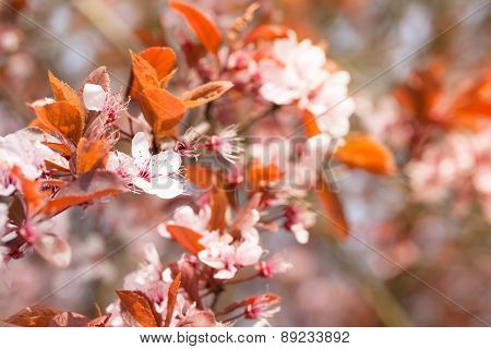 Cherry Blossoms and Red Leaves