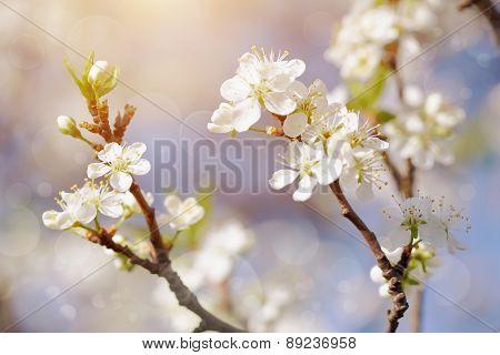White Flowers Of Cherry.