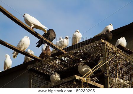 Doves On The Roof