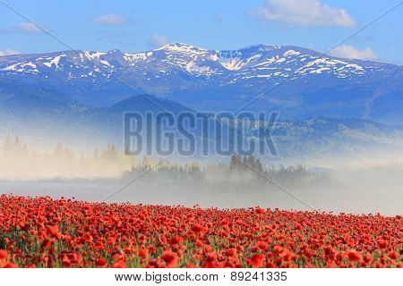 Scene with nice poppy field in mountains