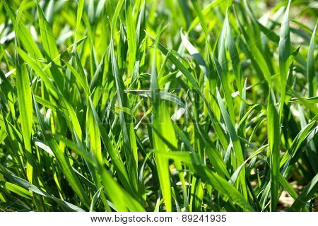 Close Up Of Green Blades Of Grass