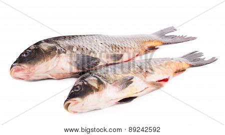 Close up of carp fishes.