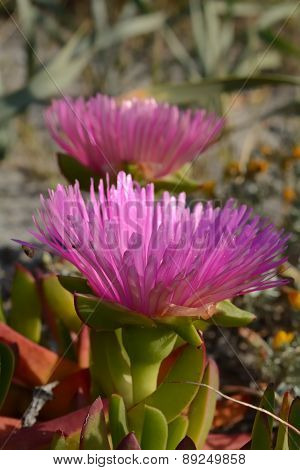 Hottentot Fig (carpobrotus)
