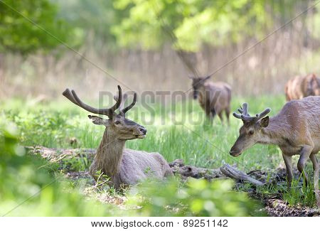 Red Deer Lying On Grass